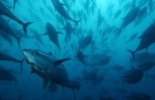 sea-shepherd-saves-800-bluefin-tuna