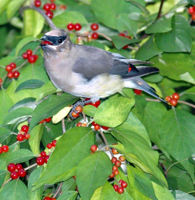 Жимолость - инвазивное растение, оказавшееся полезням для экоситсемы