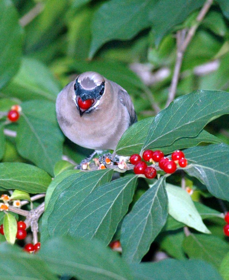 Сегодня в Пенсильвании обитает в три-четыре раза больше птиц, питающихся фруктами, чем 30 лет назад