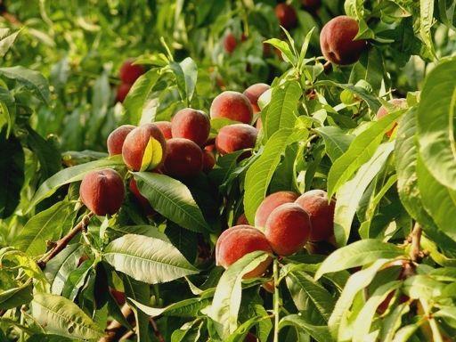 Полив обычный.  Конечно, от томата, который растет под персиком, особого.