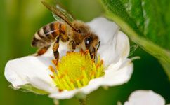 Медоносная пчела не так важна для опыления, как считалось ранее