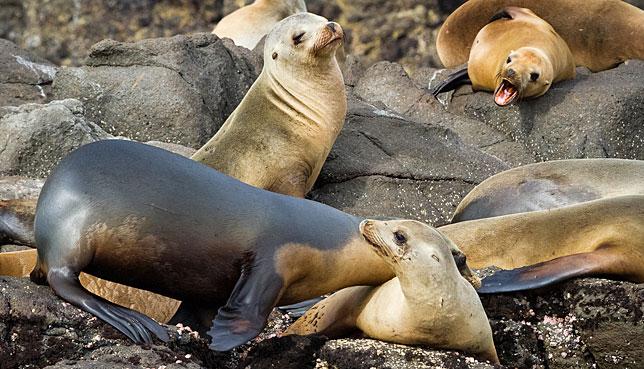 Морские львы на калифорнийских островах Чаннел.