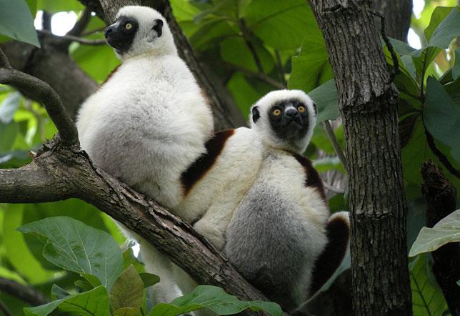 Ореховая сифака – один из видов лемуров, населяющих Мадагаскар.
