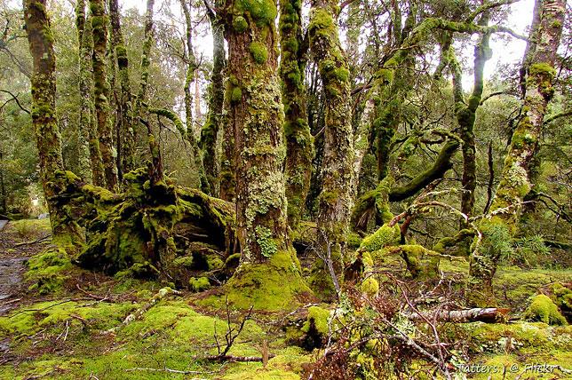 Покрытые мхом деревья вдоль пешеходной тропы в одном из заповедников Тасмании.