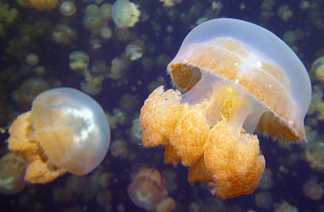 Богатые экосистемы острова Палау могут похвастаться золотыми медузами