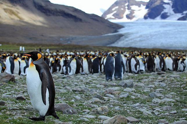 Королевские пингвины на побережье острова Южная Георгия.