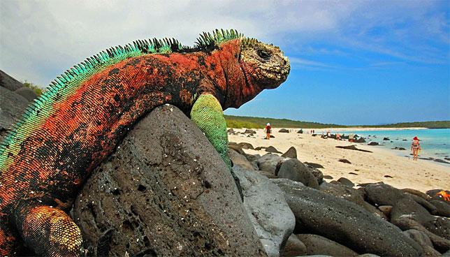 Морскую игуану можно встретить только на Галапагосских островах.