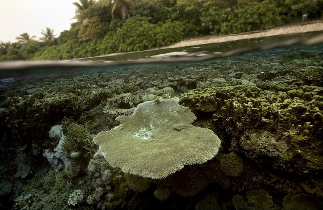 Кораллы растут у мангрового болота в прибрежных водах Кофиау, Индонезия