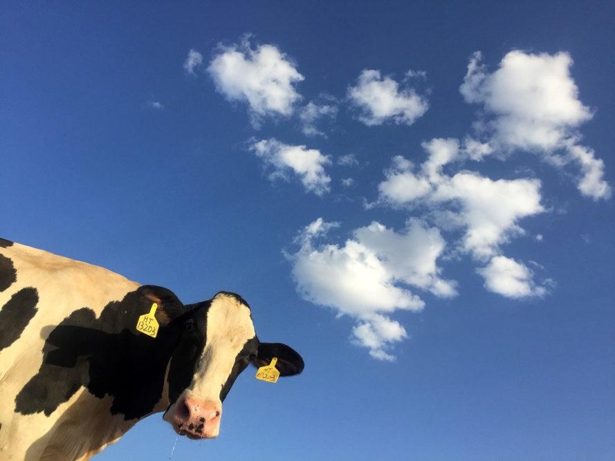 Коровий навоз – одна из основных причин глобального потепления