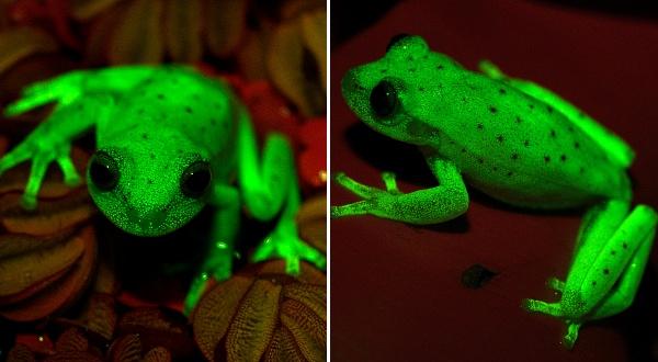 Первая в мире флуоресцентная лягушка найдена в Южной Америке. Facepla.net последние новости экологии