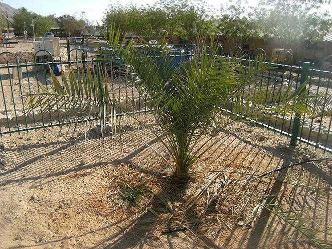 Иудейская финиковая пальма