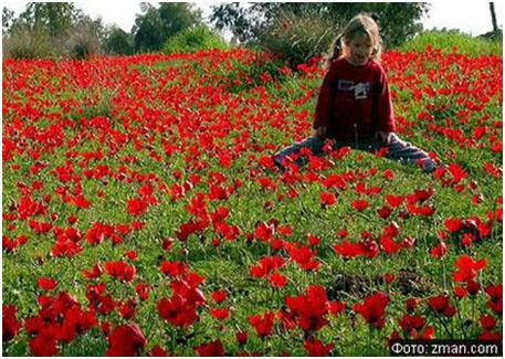 Цветущие поляны анемонов