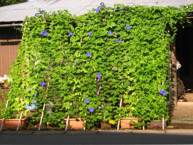 Зеленые растительные занавески - японский вариант борьбы с жарой