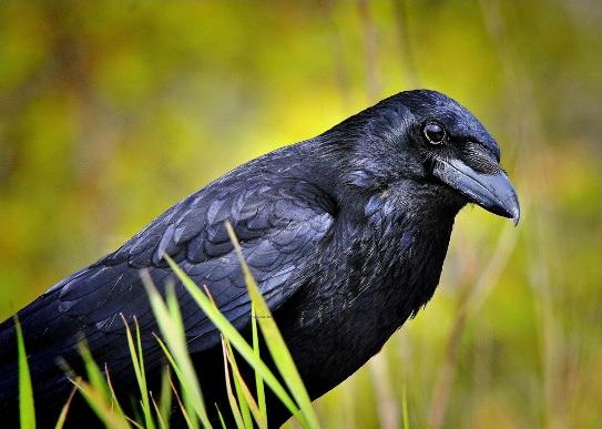 Картинки по запросу corvus corax ворон