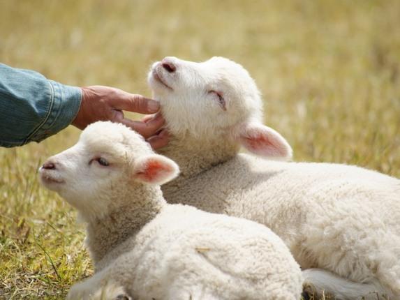 В Пермском крае построят овцеводческий комплекс за 1 млрд рублей