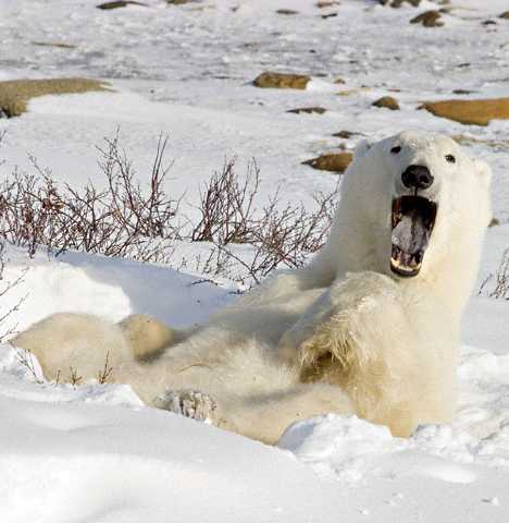 Шире рот: 12 зевающих животных
