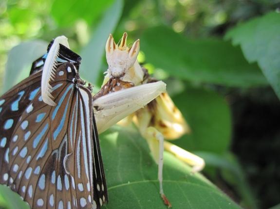 Преимущества маскировки: найден хищник, имитирующий цветок