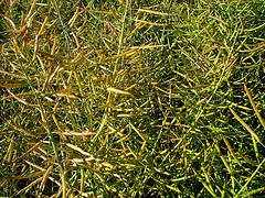 Согласно опубликованному в журнале Plos One в октябре исследованию, из 288 протестированных растений 231 содержали в себе модифицированные гены