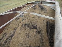 Ученые предполагают, что широкое распространение генномодифицированной канолы - результат рассыпания семян из грузовиков
