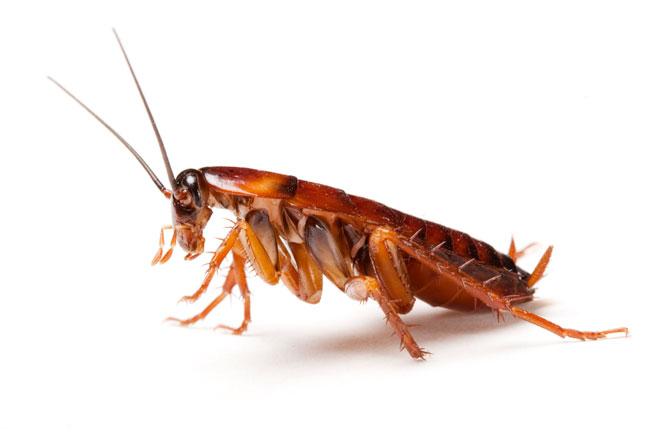 Тараканы-мутанты не едят сладкого