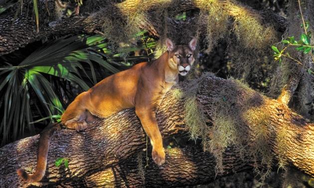 Пума (Puma concolor coryi)