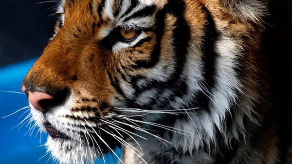nepal-tiger-population