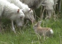 rabbit-vs-sheep-video