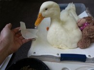 duck-gets-new-foot-by-3d-printing