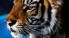 save-tigers-now