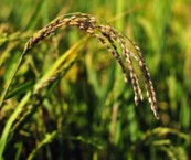 genetic-discovery-promises-to-boost-rice-yields
