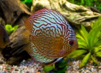discus-fish-parent-young-like-mammals