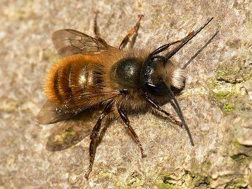 Красная пчела-каменщица